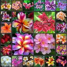 5pcs Mix-Color Real Fresh Plumeria Rubra seeds Frangipani Lilavadee Flower
