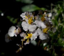 Tolumnia variegata, orchid species..