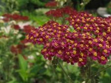 3 X Achillea Millefolium 'Cassis'S YOUNG trapianti (spedizione gratuita nel Regno Unito)