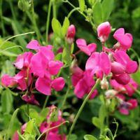 Seeds for Earthnut Pea   Lathyrus tuberosus   Amkha Seed