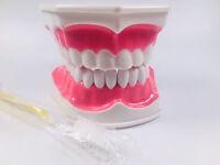 Dental Giant Teeth Anatomical Model Teaching Dentist Brushing Hygiene 12cmX9cm