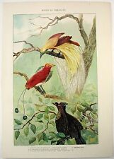 Birds of Paradise: Original 1902 Dated Chromolithograph by Julius Bien & Co.