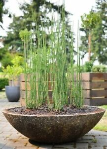 "16 stalks of 36"" horsetail reed plant evergreen perennial deer resistant"