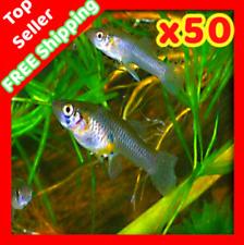 x50 Live Gambusia MOSQUITO Aquarium Pond Feeder Guppy Koi Fish Guppies Minnows