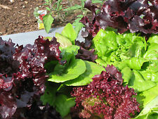 SALAT MIX   5 Sorten  300 Samen roter & grüner Pflücksalat und Kopfsalat