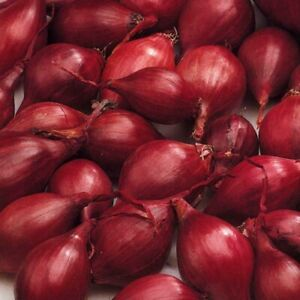 50 ELECTRIC RED (Autumn Planting Winter Onion Sets) The easy way to grow onions