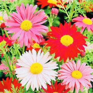 50 x Chrysanthemum  Giant Mixed Perennial Seeds