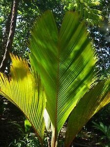 RARE COLLECTORS PALM ...... Phoenicophorium borsigianum