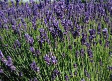 30 Semillas Lavanda - LAVANDULA OFFICINALIS - Aromática Flores Medicinal Jardin