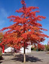 Scarlet Oak Tree seedling, Amazing Fall color LIVE PLANT