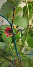 RARE Achrioptera manga eggs x100 blue metal stick insect/phasmids/Phasmiden