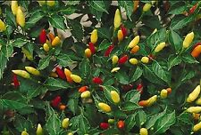 Liveseeds - Hot Tabasco Chili Pepper Bulk 1000 Seeds