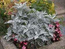 500 DUSTY MILLER SILVERDUST SEEDS, CINERARIA, COMB S/H + FREE GIFT*