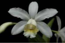 Cattleya harrisoniana Peloric Albescens Orchid Species Big Flowers Fragrant