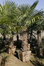 BUY 3 GET 2 FREE Trachycarpus Fortunei SEEDS 10 PCS Palm tree 93% Rate Bonsai