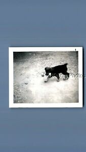 FOUND B&W POLAROID N_1349 SMALL DOG CARRYING DUMBELL IN MOUTH