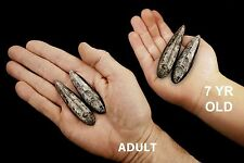 "Orthoceras Fossils 3"" Polished For Jewelry Rock Mineral Specimen Healing Crystal"