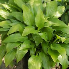 Private sale for 4 Lots of 10 Hosta Lancifolia plants