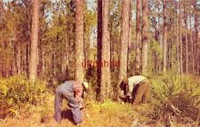 TURPENTINING IN DIXIE Two men gather Pine Gum or Resin
