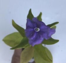 LivePlant-Brunfelsia Yesterday, Today, Tomorrow Color Changing Fragrant Flowers
