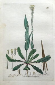 SMOOTH TOWER MUSTARD TURRITIS Baxter Antique Engraved Botanical Plant Print 1841