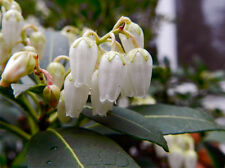 """Lily of the Valley - Pieris japonica. Flowers in February. 4"""" plant, bare root."""