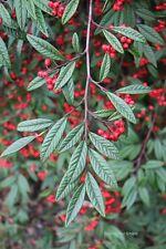 Jetzt pflanzen! Weidenblättrige Zwergmispel/ Immergrüne Heckenpflanzen 100 Samen