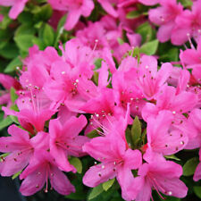 1 X AZALEA 'GEISHA PINK' JAPANESE EVERGREEN SHRUB HARDY PLANT IN POT