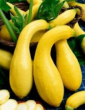Squash Seeds, Yellow Crookneck, Summer Squash Seed, Non-Gmo Heirloom Squash 35ct