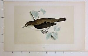 c1875 ANTIQUE PRINT ~ GARDEN WARBLER HAND COLOURED British Birds Morris
