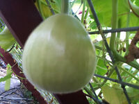 RARE Light Green Asian Round Bottle Gourd, Calabash, Lauki - 5 Seeds