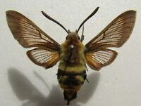 Moth Sphingidae  Hemaris radians