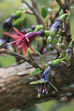RARE 25 graines d' ARBRE FUCHSIA (Fuchsia Excorticata)G941 KONINI SEEDS SEMILLA