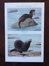 1930 vintage magazine art print Wild Animals Of North America Canadian Otters