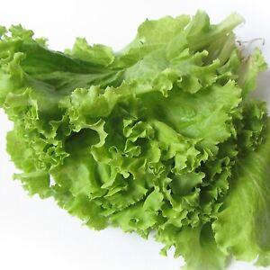 Leaf Lettuce Latuk - Heirloom -  Vegetable Seeds - NON GMO