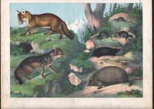 1886 Belle lithographie originale hérisson renard rongeurs animaux gravure