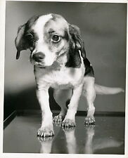 CROSS BREED PUPPY - Photo c. 1950 Chien Grand Format - CH 14