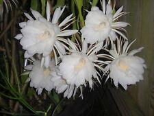 "2 Plants - Night Blooming Cereus Epiphyllum Oxypetalum Cactus Orchid 8"" to 10"""