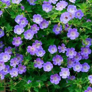 Geranium Plugs Perennial Flowering Garden Plants Hardy 'Rozanne' 2 Plugs T&M