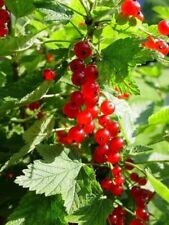 Red Currant Berry - 'Red Lake' - Ribes rubrum