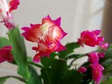 "Schlumbergera Hybride "" Wild rosa-rot-pink """