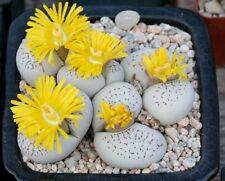 LIVING STONES (Dinteranthus vanzylii) 20 seeds