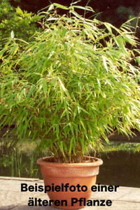4x Bambus Pflanze Fargesia rufa 70-80cm Hecke Sichtschutz - Erholung im Garten!