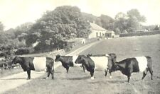 NORTHUMBERLAND. Belted Cattle; Francis Bowes Lyon, Ridley Hall 1912 old print