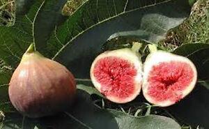 Ficus carica 'Ronde de Bordeaux' roter Frucht Feigenbaum -20°C Pflanze 60-80cm