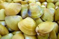 GOLDEN CLAM 3 or 5 or 10 CLAM FRESHWATER SUPER PRICE!!!