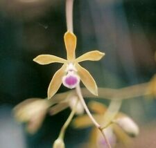 Encyclia tampensis Bloom size Mounted Large Fragrant Species #3