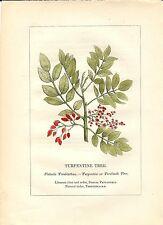 Stampa antica PIANTE DELLA BIBBIA PISTACCHIO Pistacia 1842 Old antique print