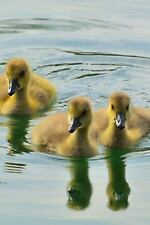 Adorable Yellow Baby Canada Goose Goslings Swimming on a Lake Journal : 150...