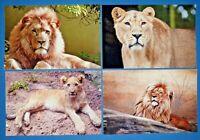 Set of 4 NEW Animal Wildlife Postcards, Lions, Lioness, Cub 49L